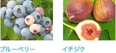 注目の美味しい健康果樹「ブルーベリー苗木」と「手作りジャム」