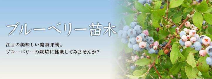 ブルーベリー苗木 注目の美味しい健康果樹。ブルーベリーの栽培に挑戦してみませんか?